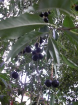 the unknown cherry-type fruit