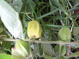 the ripe aguaymanto