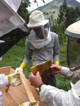 about to attach comb from old hive to new