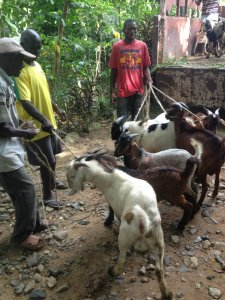 arrival of goats1